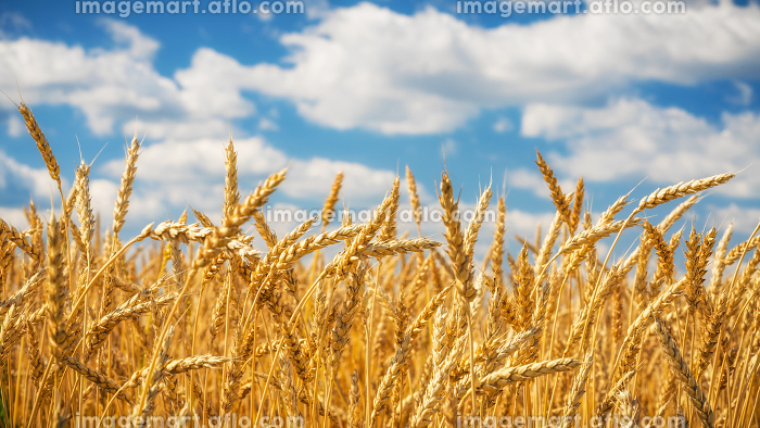 Golden wheat field over blue sky at sunny day.の販売画像