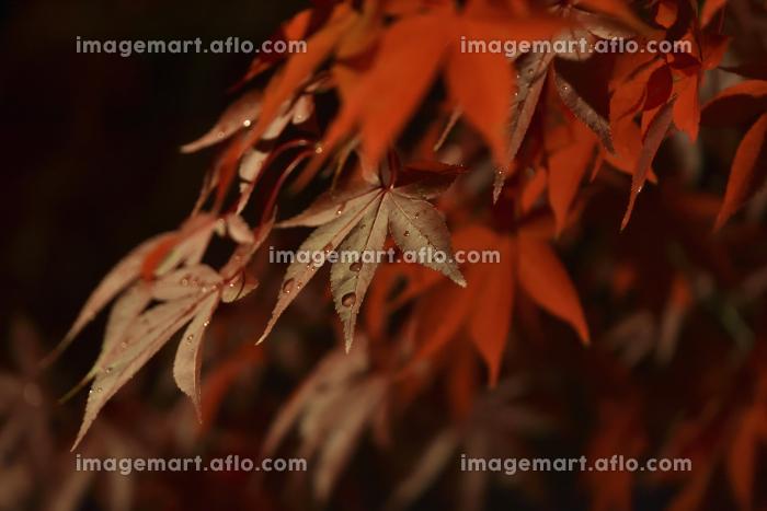 雨中の紅葉の販売画像