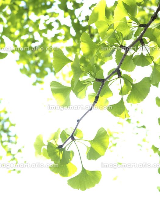 新緑のイチョウの葉の販売画像