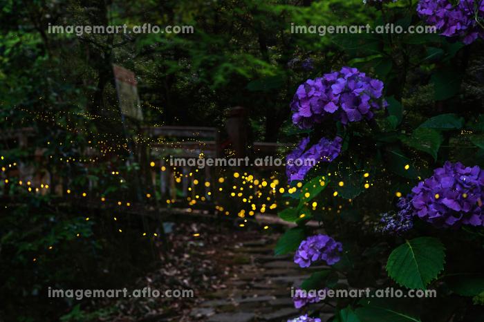 夏の夜を美しく飛び回るホタルの販売画像