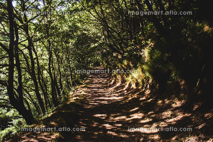 dirt road surrounded by tall trees making shadows of branchesの販売画像