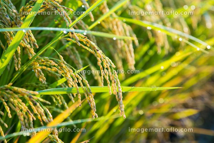 朝露に輝く収穫間近の稲