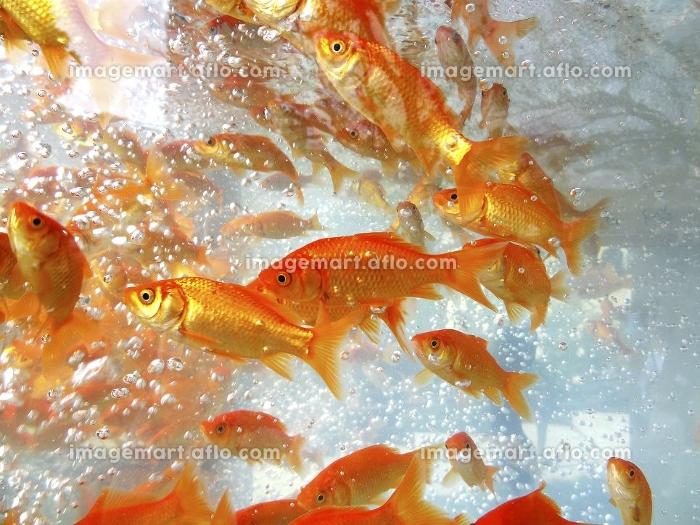 水槽の金魚の販売画像