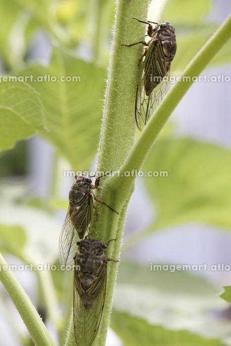 ヒマワリの茎にとまるセミの販売画像