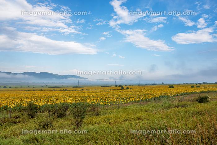 Sunflower field at sunrise in summer.