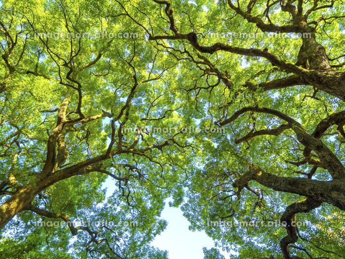 新緑の樹木の販売画像
