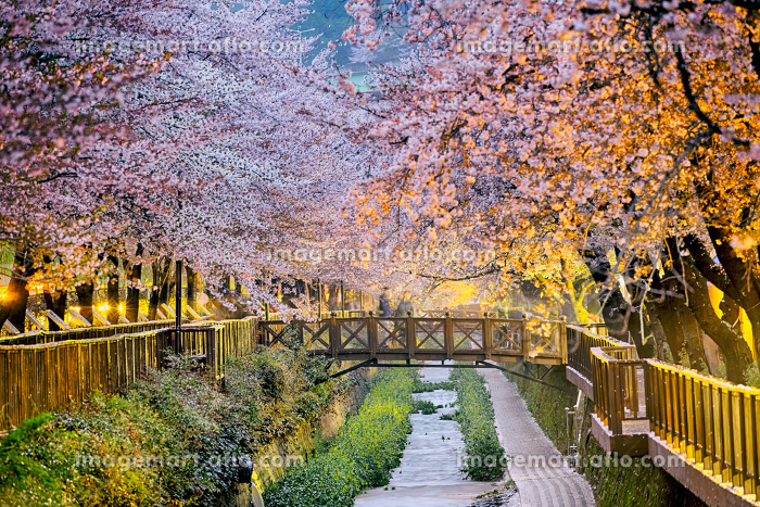 cherry blossoms sakuraの販売画像