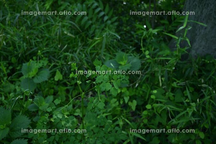 草木に覆われた玉川上水沿いの風景・2021年4月(小平市・東京都・日本)の販売画像