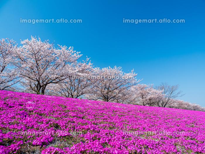 青空の東京都北区赤羽の荒川河川敷 桜と芝桜の風景 4月の販売画像
