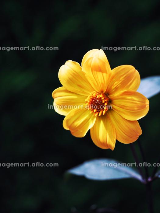黄色い花ガーデンダリア・ミッドナイトムーンの販売画像