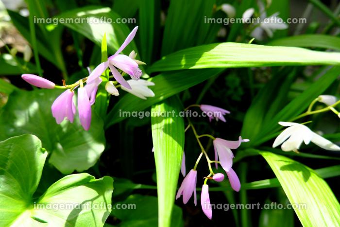草むらに咲くシランの花の販売画像