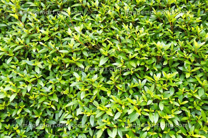 新緑の若葉(背景・素材・オメージ)の販売画像