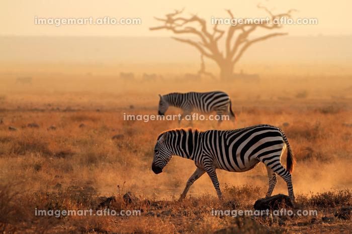 アフリカ 風景 動物相の販売画像