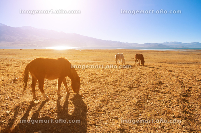Horses in sunrise, Tsomoriri, Indiaの販売画像