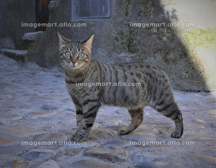石畳の広場でこちらを見ているきじ猫の販売画像