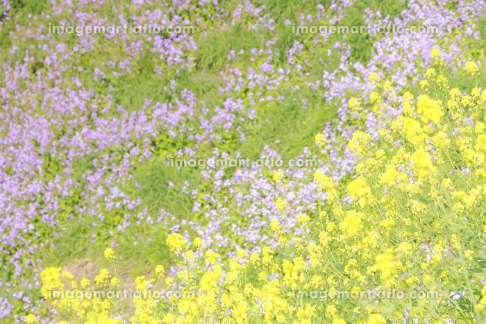 四谷外濠の菜の花の販売画像