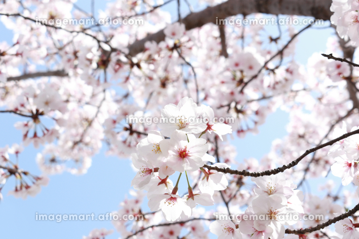 ソメイヨシノ 3の販売画像