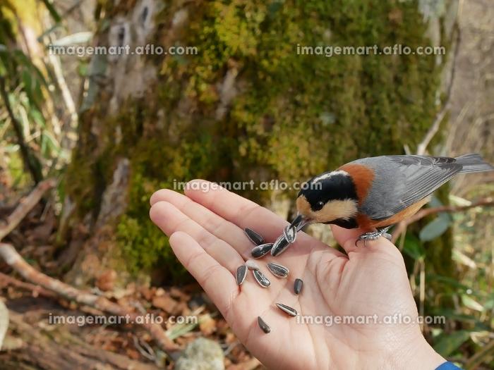 手のひらに餌を食べに来るヤマガラ 餌付け(153690275)|イメージマート