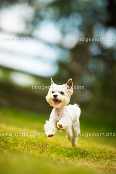 Cute little dog doing agility drill - running slalom, being obediend and making his master proud