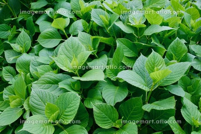 葉の販売画像