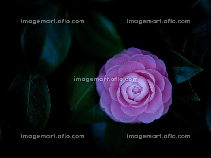 日陰でひっそりと咲く椿の花 3月の販売画像