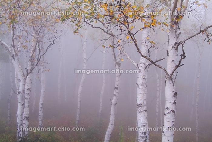 白樺林の販売画像