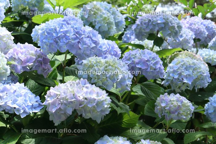アジサイ 21 青紫の販売画像