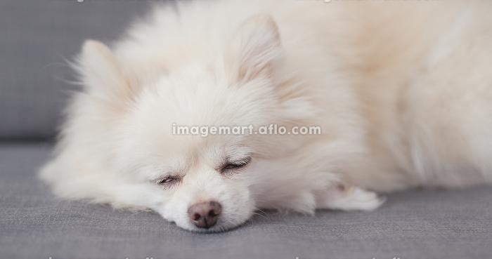 White Pomeranian dog sleep