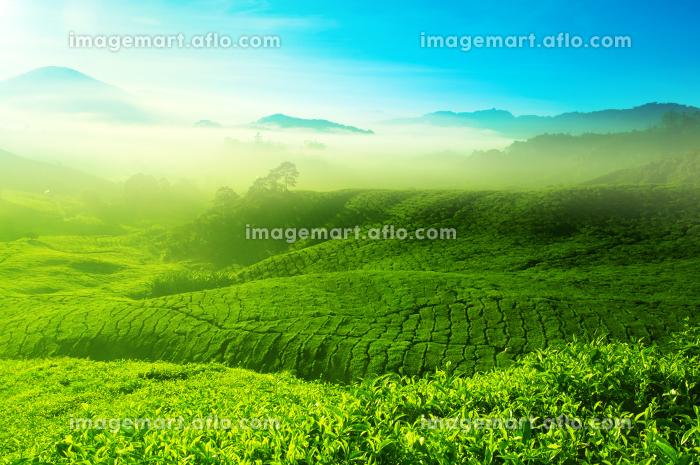 マレーシア お茶 長身の販売画像