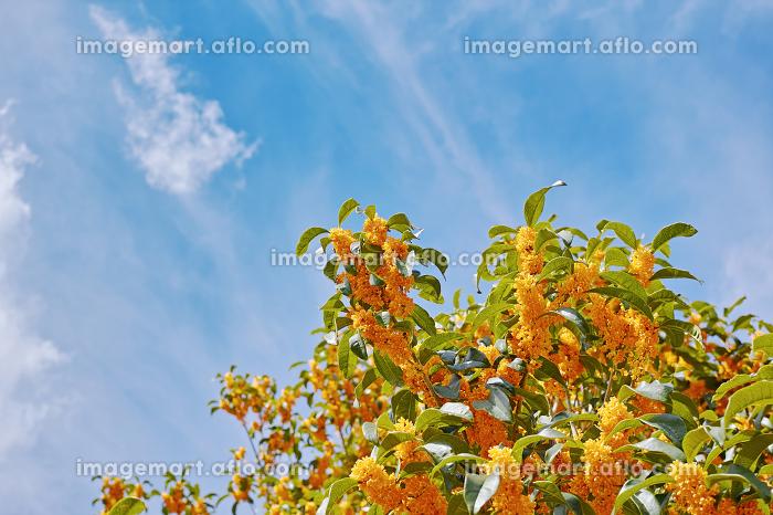 オレンジ色で強い香りのキンモクセイの花と白い雲のある青空の販売画像