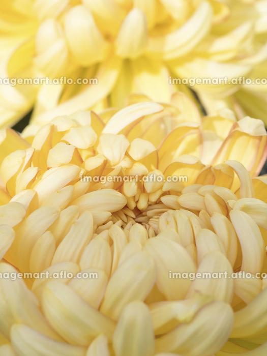 菊の花の販売画像