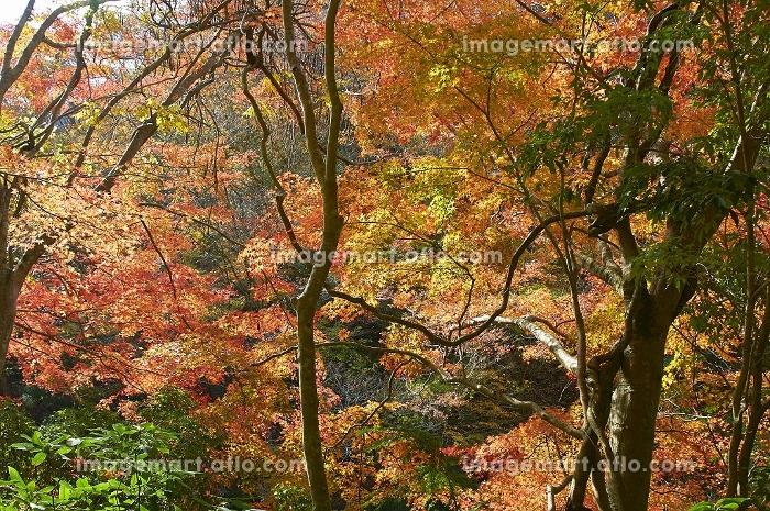 崖の細道を織りなす秋の彩りの販売画像