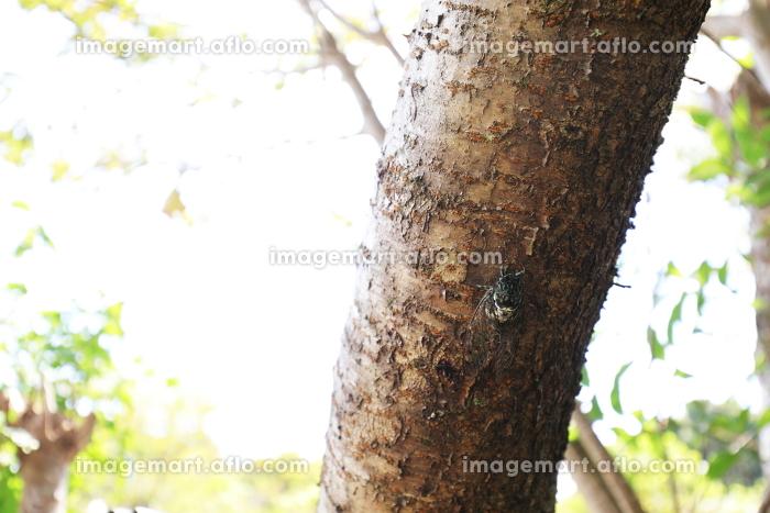 目の前の木にとまるミンミンゼミの販売画像