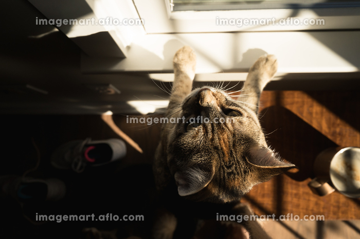 Overhead View of Curious Brown Cat Peering out Sunny Window at Homeの販売画像