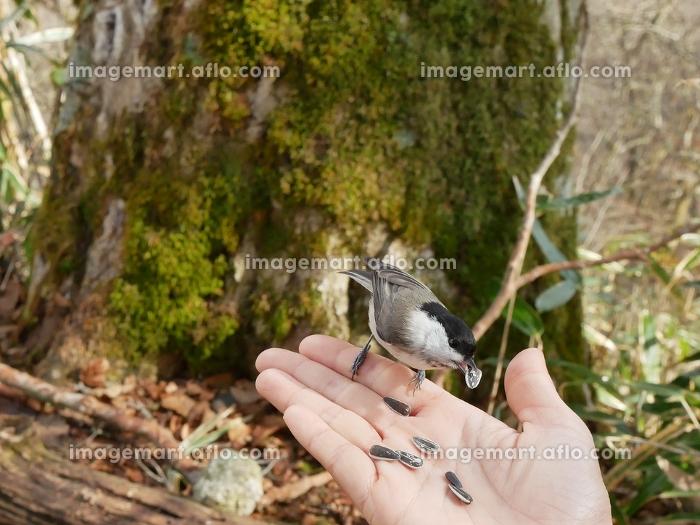 手のひらに餌を食べに来るコガラ 餌付け(153690270)|イメージマート