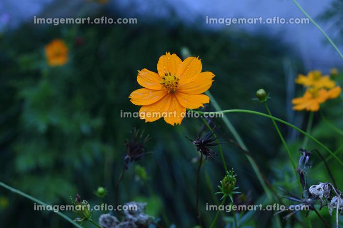 キバナコスモス(オレンジ色のコスモス)の販売画像