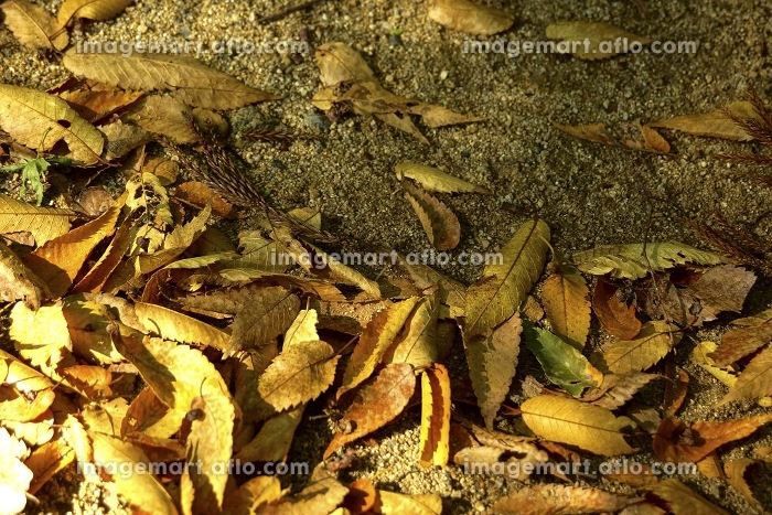 けやきの枯葉の販売画像