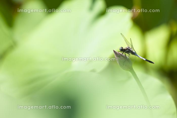 ハスの葉に止まるシオカラトンボの販売画像