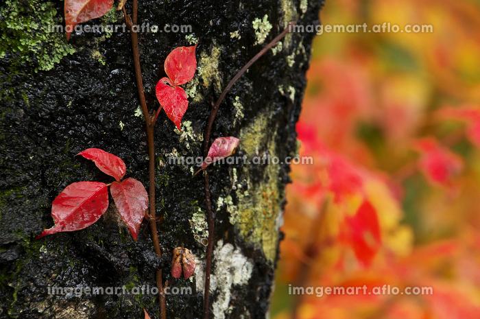 ツタウルシの紅葉の販売画像