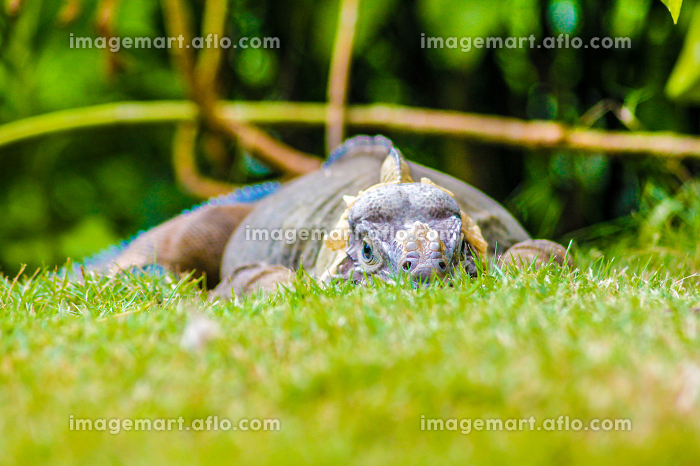 Iguana perched in the green grass