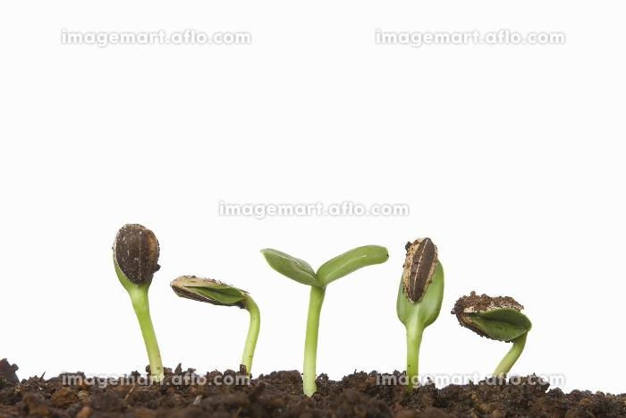 向日葵の発芽の販売画像
