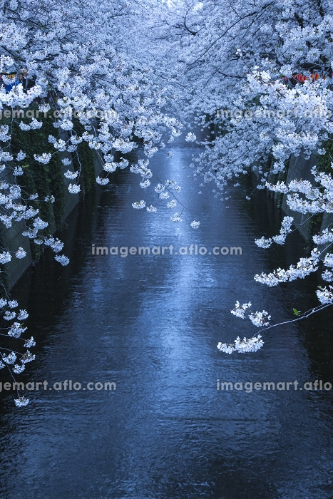 東京都 目黒川の桜の販売画像