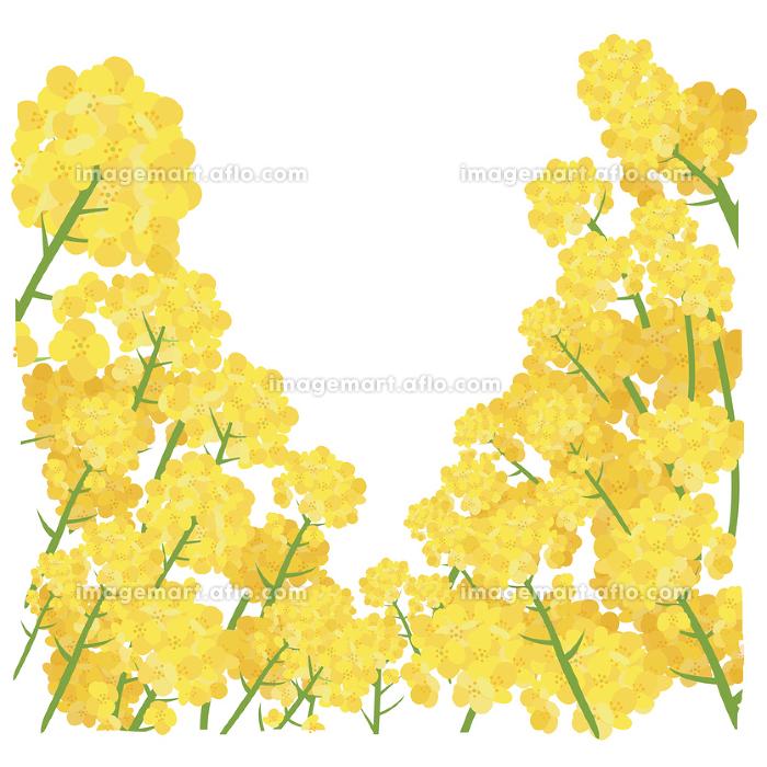 イラスト素材 菜の花 なのはな ナノハナ 花畑 縦構図 ベクターの販売画像