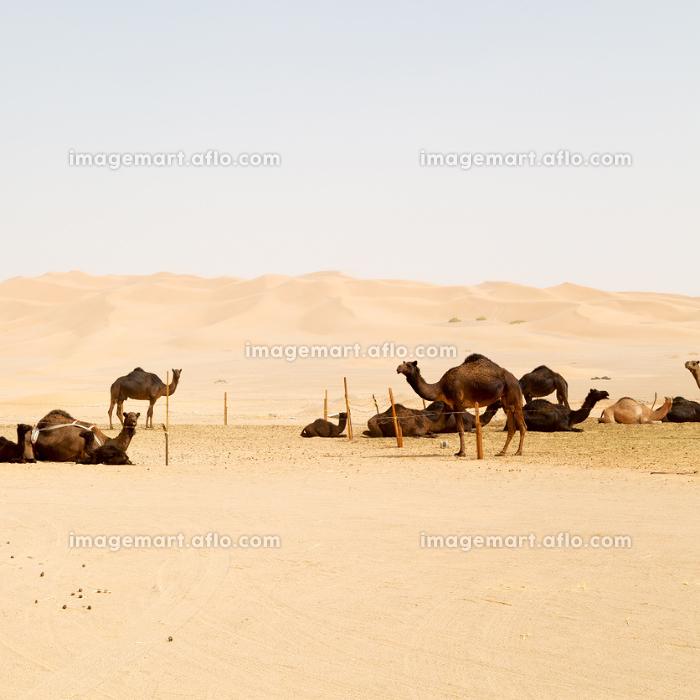 dromedary near the sky in oman empty quarter of desert a  freeの販売画像
