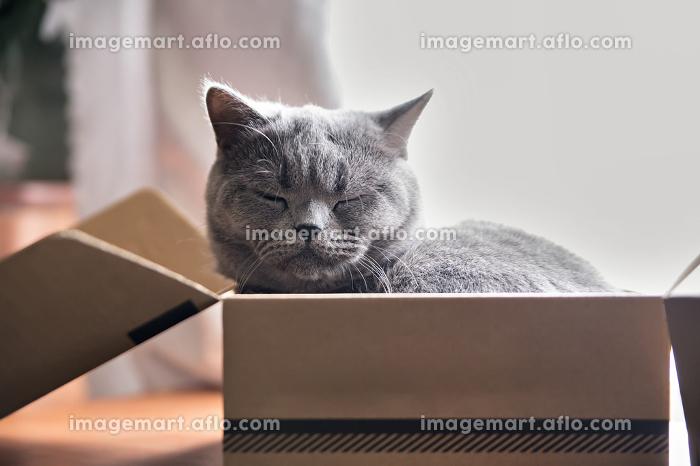 Beautiful grey cat sleeping in a box. British Shorthair kittenの販売画像