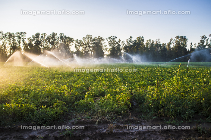 Potato field in bloom irrigated by water sprinklers at sunset