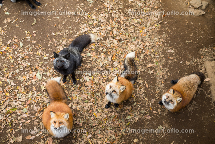 Group of fox looking for food