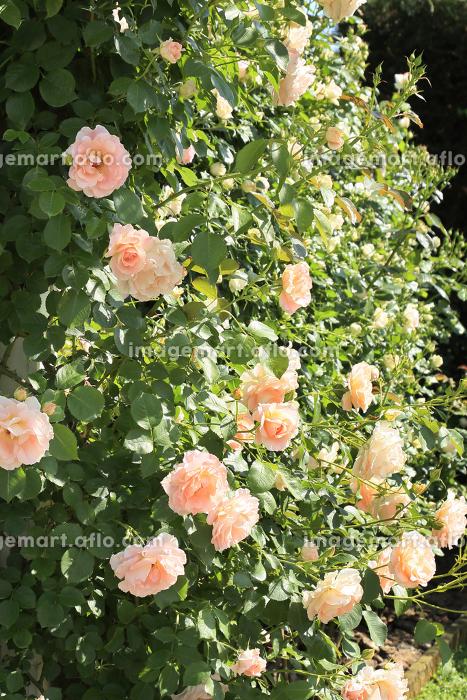 満開のバラの花