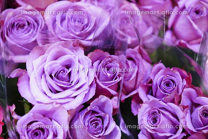 薄紫色のバラの販売画像