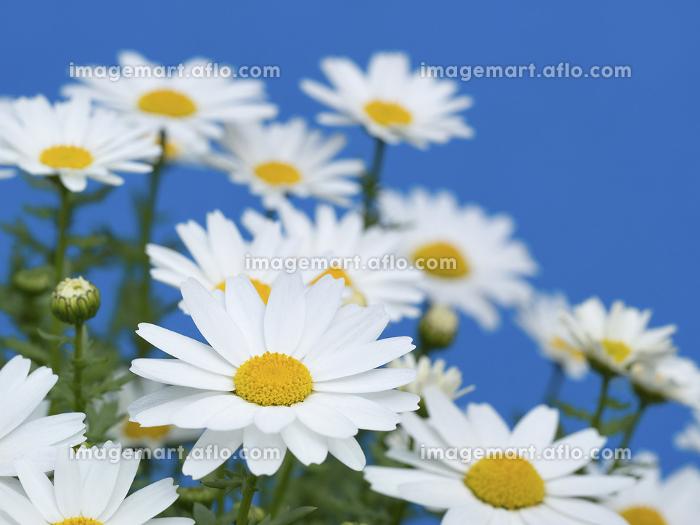 ノースポールの花の販売画像